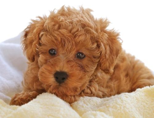 Darmowe chipowanie psów